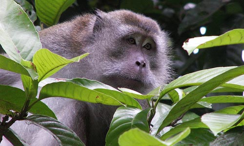 Macaque in the trees